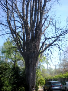 Largest Kentucky Coffee Tree in the United States